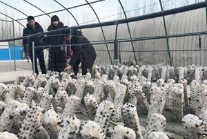第一次!浙江在阿克苏试验鲜木耳成功