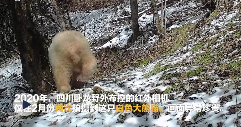 罕见!全球唯一白色大熊猫长大变金白色