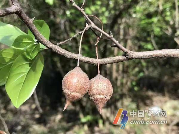 宁波首次发现国家Ⅱ级重点保护野生植物――秤锤树